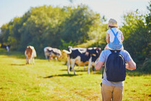 Father Holding Daughter On Shoulders And Walking Near Cows Grazing On A Green Pasture In Rural Brittany, France