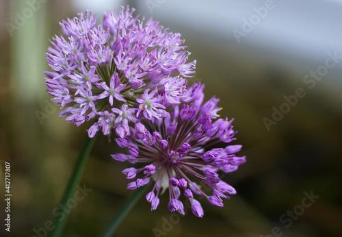 Fototapety, obrazy: Two beautiful purple onion flowers.  Cultivated sort Allium hollandicum.
