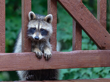 Young Raccoon Climbing Up A Rustic Wooden Deck.