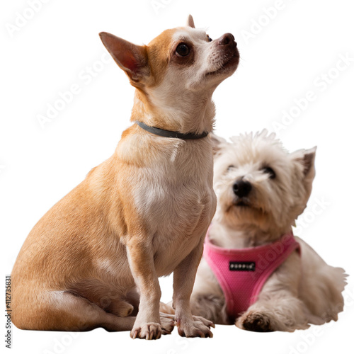 Photo Chihuahua and west highland terrier dogs sitting