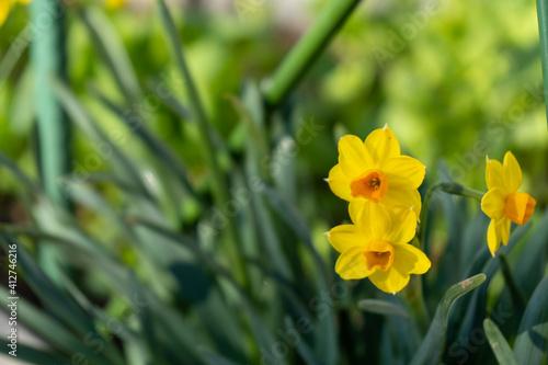 Fototapeta 道端に咲く水仙(スイセン)の黄色い花