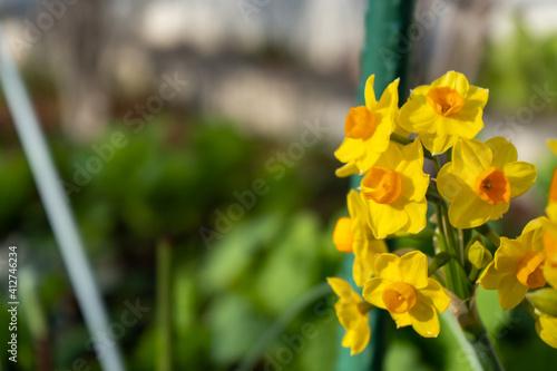 Fotografie, Obraz 道端に咲く水仙(スイセン)の黄色い花