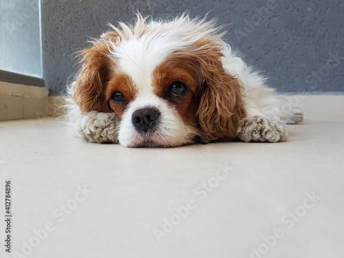 Dog Lying Down On Floor Fototapet