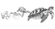Hand Drawn Sea Turtle Life Cycle