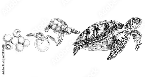 Fotografie, Obraz Hand drawn sea turtle life cycle