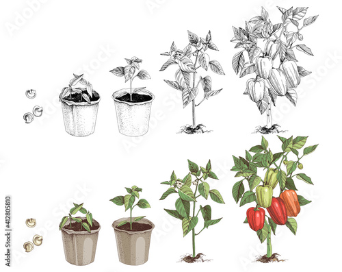 Fotografie, Obraz Bell pepper growth stages sketches