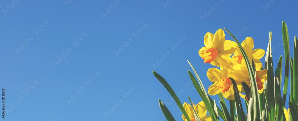 Fototapeta Gelbe Narzissen (Osterglocken) vor blauem Himmel - Panoramaformat- Header oder banner für Frühling, Ostern, Gartenzeit ect.