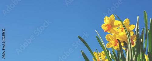 Fotografia, Obraz Gelbe Narzissen (Osterglocken) vor blauem Himmel - Panoramaformat- Header oder banner für Frühling, Ostern, Gartenzeit ect
