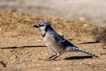 American Blue Jay Feeding On Ground