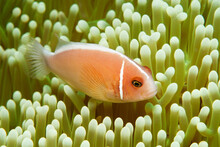 Pink Anemonefish (Amphiprion Perideraion) - Also Known As The Pink Skunk Clownfish - In Tulamben, Bali, Indonesia