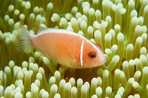 Billede på lærred Pink anemonefish (Amphiprion perideraion) - also known as the pink skunk clownfi