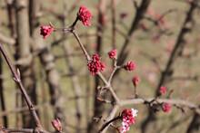 """Pink Flowers Of Winter Fragant Snowball Viburnum Bodnatntense """"Dawn"""" In The Garden On Winter"""