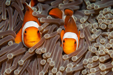 False Clown Anemonefish Pair (Amphiprion Ocellaris) Peeking Out Of Their Host Anemone In Tulamben, Bali, Indonesia
