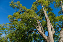 Beautiful Longevity Large Camphor Tree (Cinnamomum Camphora) Common Camphor Wood Or Camphor Laurel With Evergreen Leaves In Sochi.  Beautiful Nature Landscape For Any Design