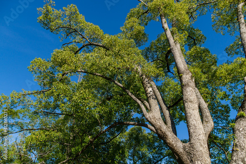 Fényképezés Beautiful longevity large camphor tree (Cinnamomum camphora) common camphor wood or camphor laurel with evergreen leaves in Sochi