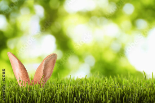 Fototapeta Cute Easter bunny hiding in green grass outdoors, space for text obraz