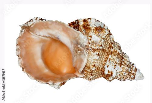 Sea shell (tutufa rubeta) on a white background isolated, Sea shell (tutufa rube Fototapet