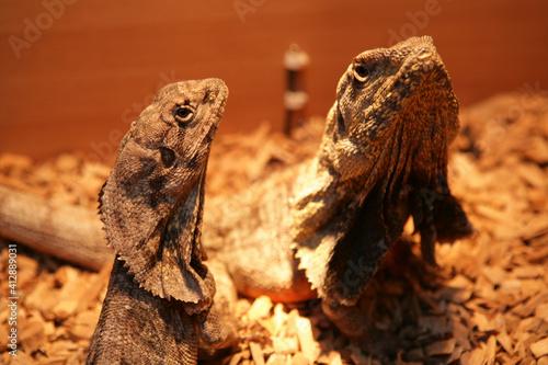 Fotografie, Obraz Frill-necked lizards