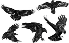 Set Of High Quality Ravens - Vector Art