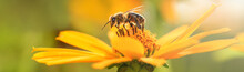 Bee And Flower. Close Up Of A Large Striped Bee Collecting Pollen On A Yellow Flower On A Sunny Bright Day. Banner. Summer And Spring Backgrounds