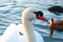 A Mute Swan Swims On The Water Of An English Pond