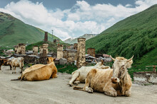 Rural Stone Tower Houses In Ushguli,Georgia. UNESCO Site. Exploring The Greater Caucasus Mountains.Cows On The Road.Popular Tourist Destination.Summer Landscape,snowy Mountains.Travel Adventure Scene.