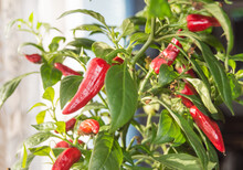 Hot Chili Pepper With Red Fruits Growing On A Bush, Close-up
