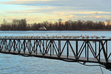 Row Of Seagulls On The Bridge On The Danube River In Belgrade In Autumn Sunset