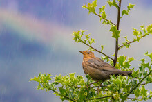 Brown Female Blackbird In Rain Perched On A Tree With Green Leaves With Blue Sky And Rainbow In The Background