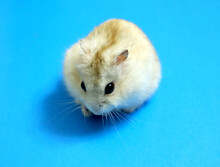 Dzungarian Hamster On A Blue Background