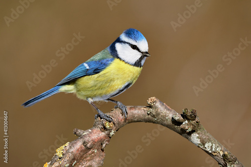Fotografie, Obraz Blue tit (Cyanistes caeruleus) bird perching on curved tree branch in the forest against natural background, close-up