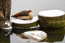 Egyptian Goose Sleeping On The Snowy Concrete Circle On Lake