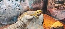 Chameleons Or Chamaeleons On  A Rock