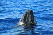 canvas print picture - Breaching whale head - Humpback whale, Maui, Hawaii