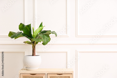 Fototapeta Beautiful indoor banana palm plant on wooden commode in room, space for text. House decoration obraz