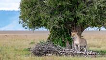 Africa, Kenya, Maasai Mara National Reserve. Lioness Under Tree.