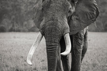 Africa, Kenya, Maasai Mara National Reserve. Close-up Of Adult Elephant.