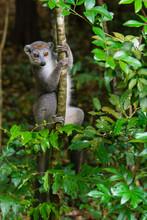 Madagascar, Ankarana, Ankarana Reserve. Crowned Lemur. Curious Lemur Looks Out Of The Forest.