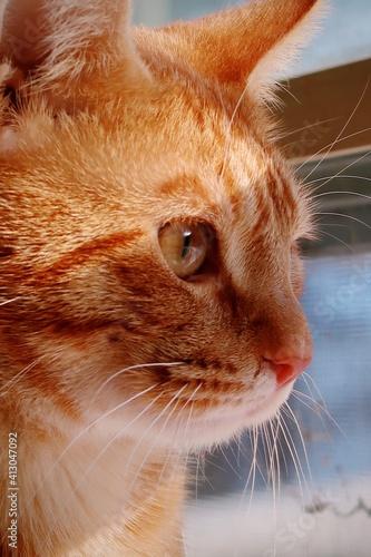 Obraz na plátně Orange Tabby Cat Looking Out The Window