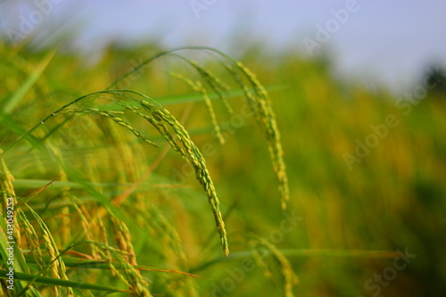 Fotografija Close-up Of Crops Growing On Field