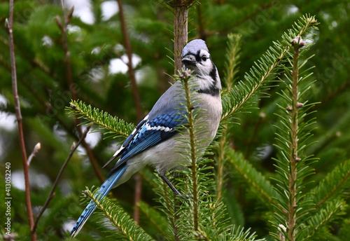 Fototapeta blue jay on a branch