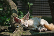 Fennec Fox Resting On A Wooden Log