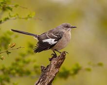 Northern Mockingbird On Tree Stump