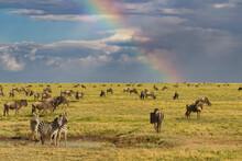 Wildebeest Herd, Burchell's Zebras And Rainbow, Serengeti National Park, Tanzania, Africa. Serengeti National Park, Tanzania, Africa.