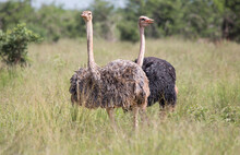 Africa, Tanzania, Tarangire National Park. A Female And Male Common Ostrich, Struthio Camelus