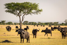 Large Herd Of African Buffalo (Syncerus Caffer) Grazing On The Open Plain Of Serengeti National Park, Tanzania