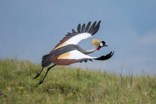 Africa, Tanzania, Ngorongoro Conservation Area, Grey Crowned Crane (Balearica Regulorum) Spreads Wings To Take Off In Flight In Ngorongoro Crater