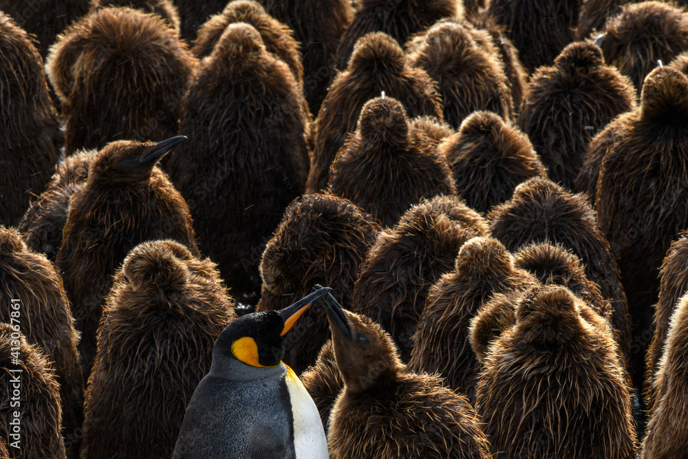 Fototapeta South Georgia Island, Gold Harbour. King penguin colony.