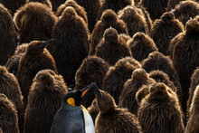 South Georgia Island, Gold Harbour. King Penguin Colony.