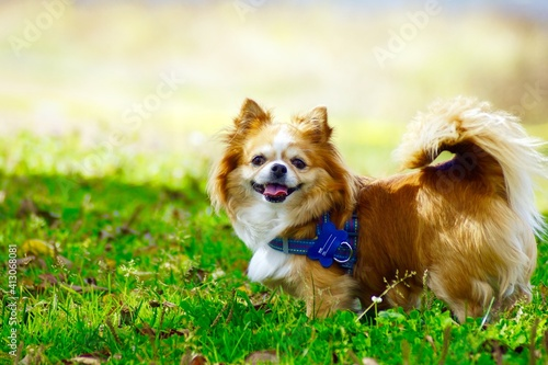 Photo Portrait Of Dog Sticking Out Tongue While Standing On Grassy Field